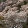 四季樱 – 川见