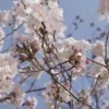 爱知的春天和樱花