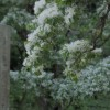 国家天然纪念物流苏树野生地