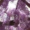 【津岛市官方宣传片】尾张津岛藤祭